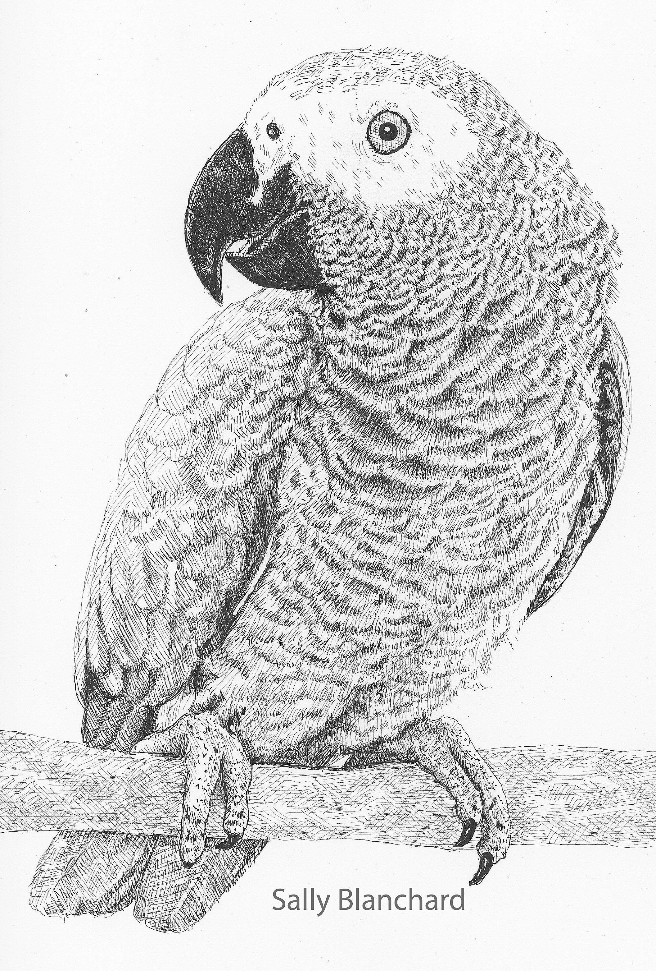 Portrait Of African Grey Named Keiko Vogels Tekenen Dieren Tekenen Realistische Tekeningen