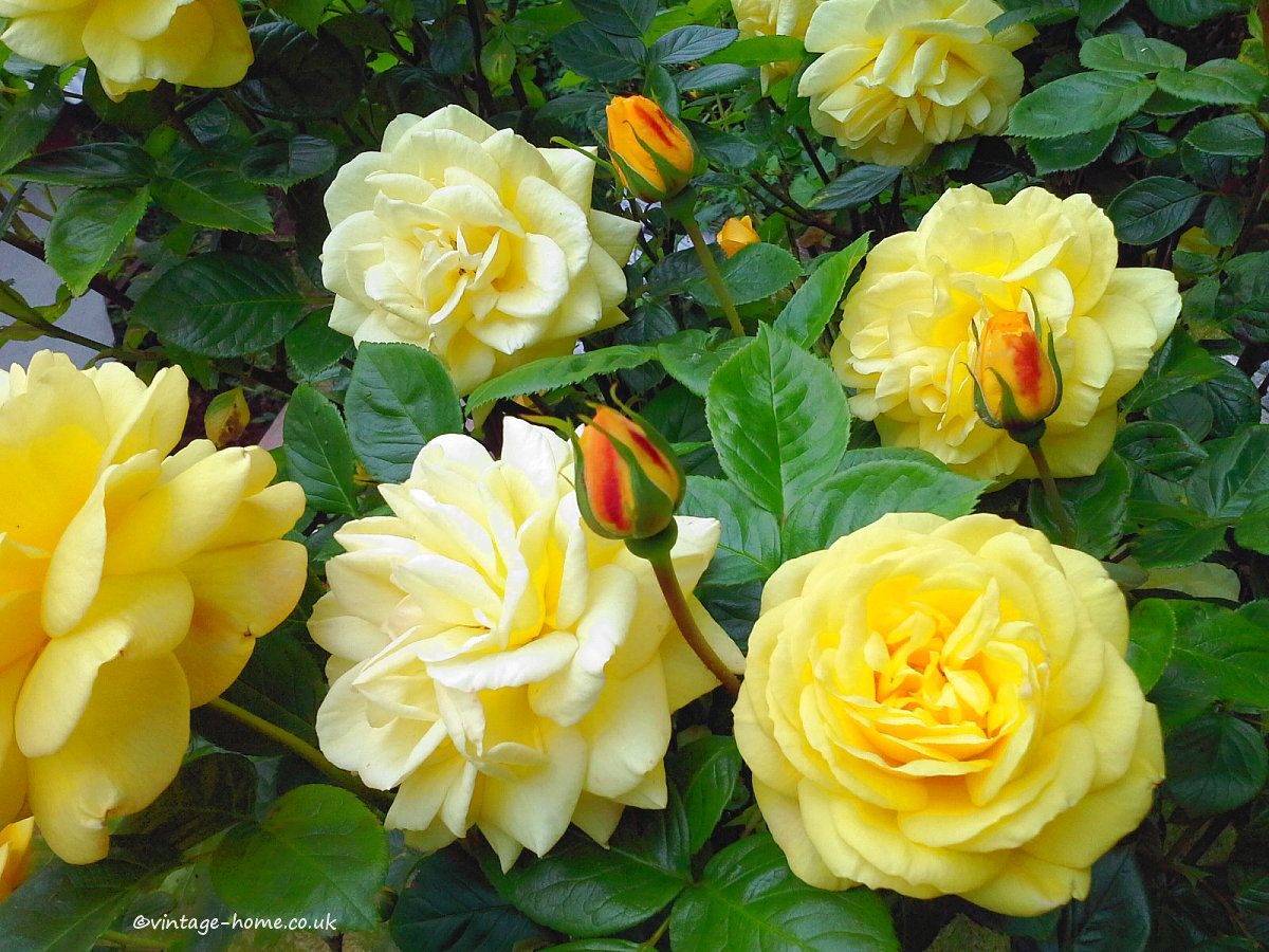 English Cottage Garden | Beautiful Yellow Shrub Rose with ...