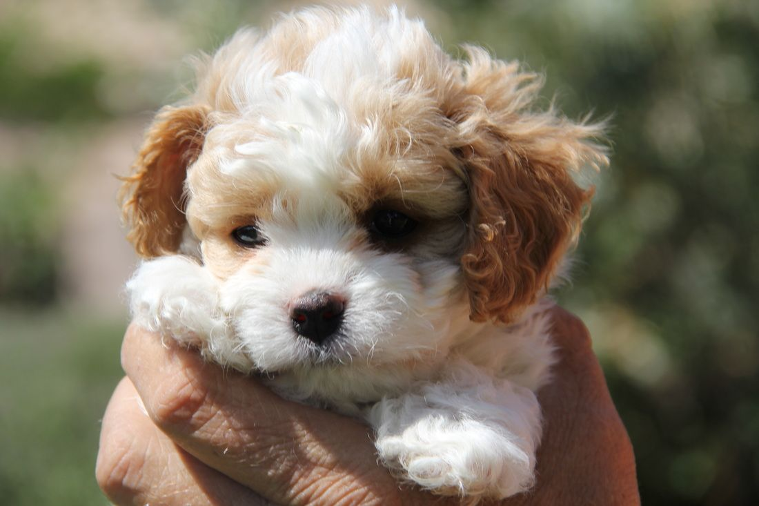 Buy Cavachon Puppies In North Dakota USA
