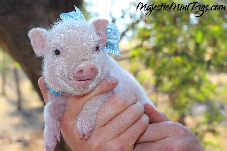 Tiny Mini Pig Baby pigs, Cute