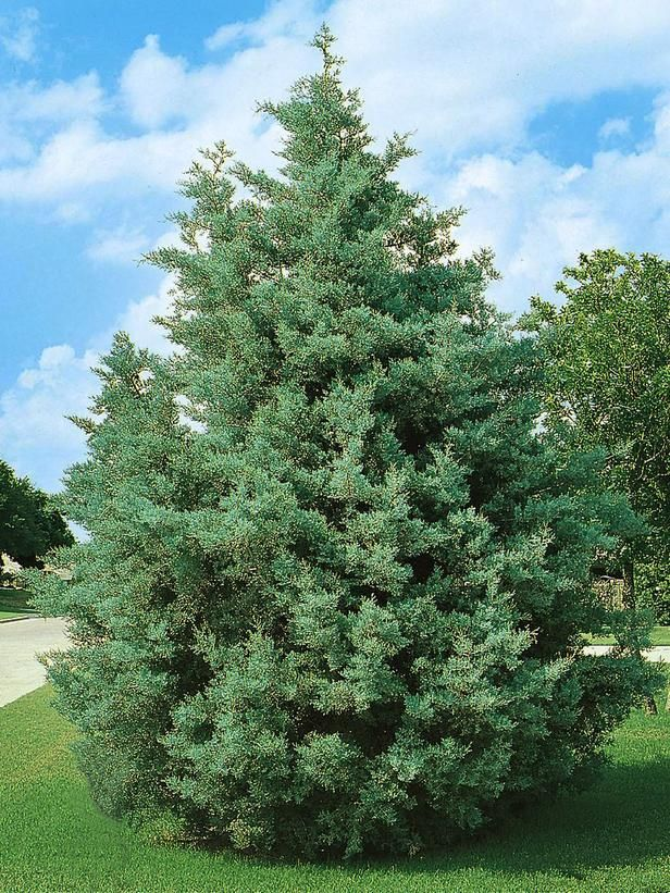 Pin On Evergreen Trees