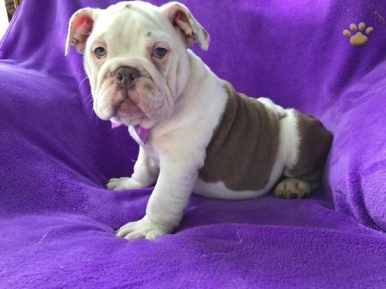 Lilac Camilla English Bulldog Puppy For Sale In Lancaster Pa