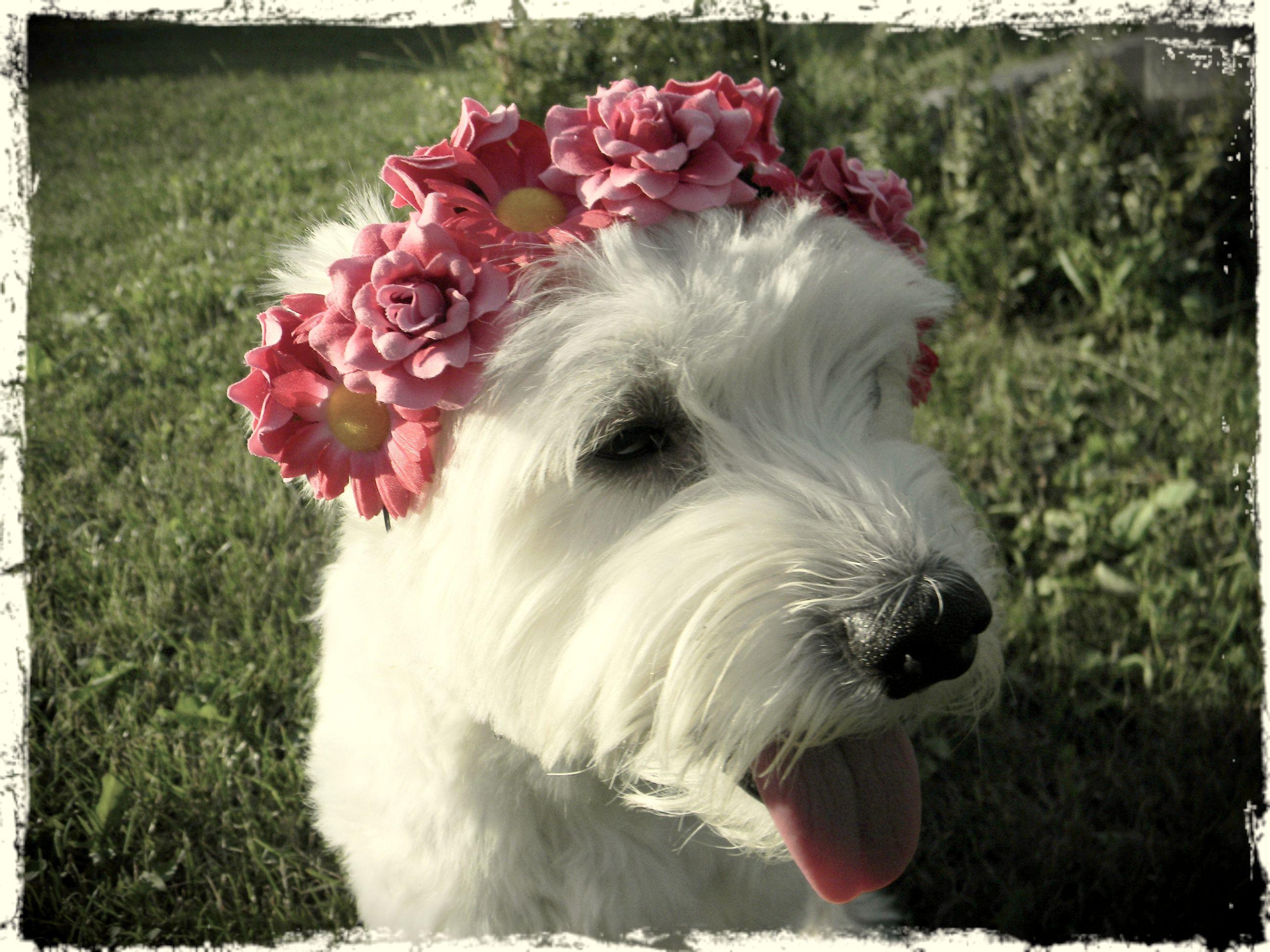 my funny dog, festival styling #floralheadband #pupy #cute #pet