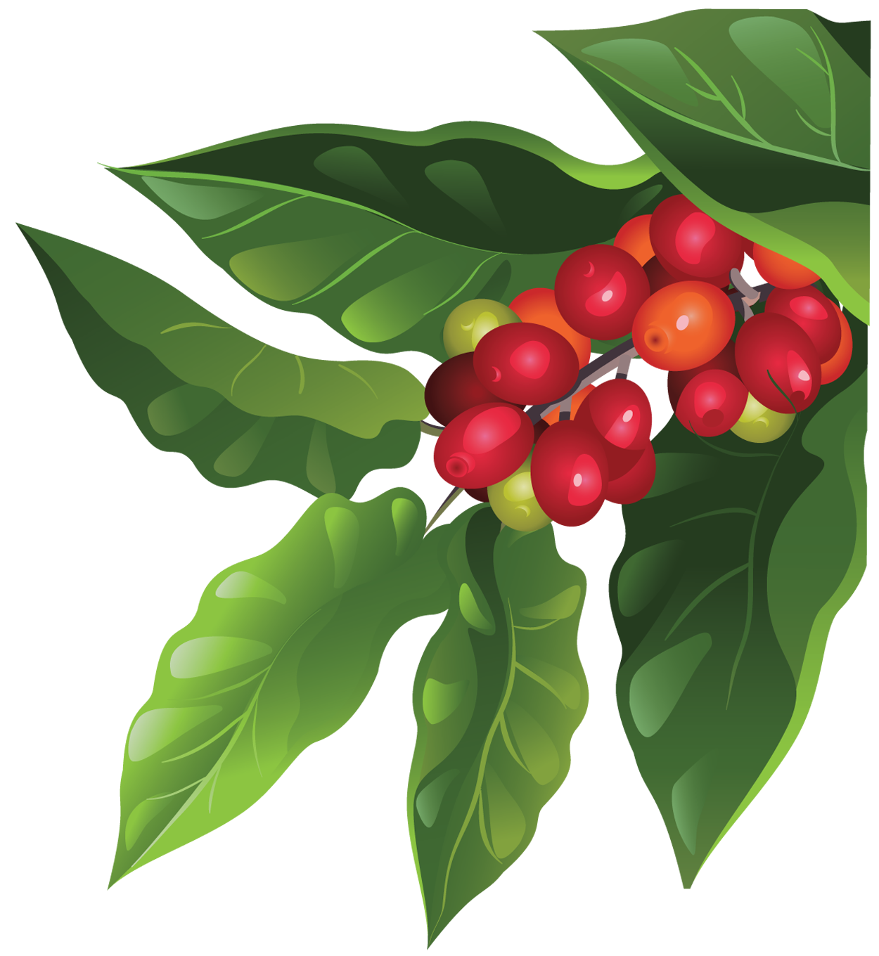 coffee plant illustration Buscar con Google (con