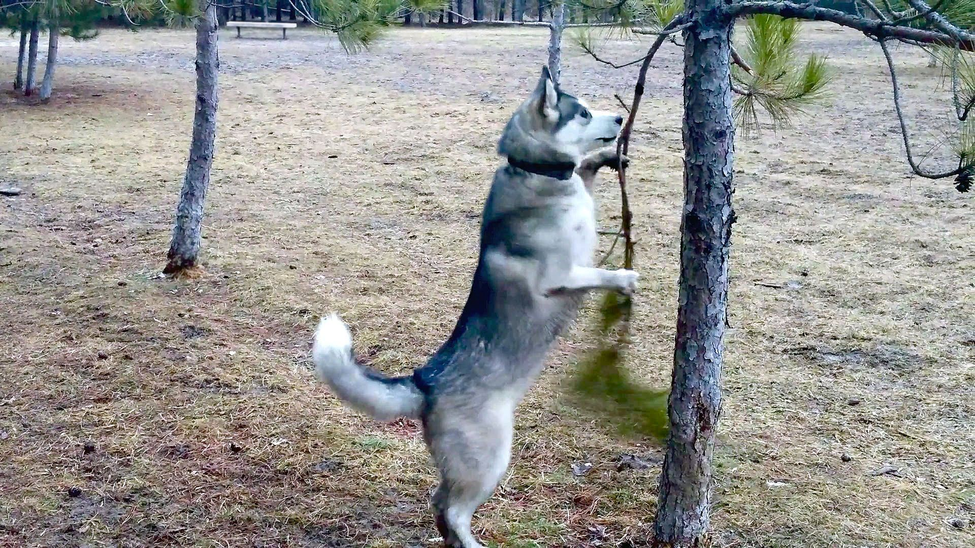 Husky attacks tree aww cute pictures pinterest