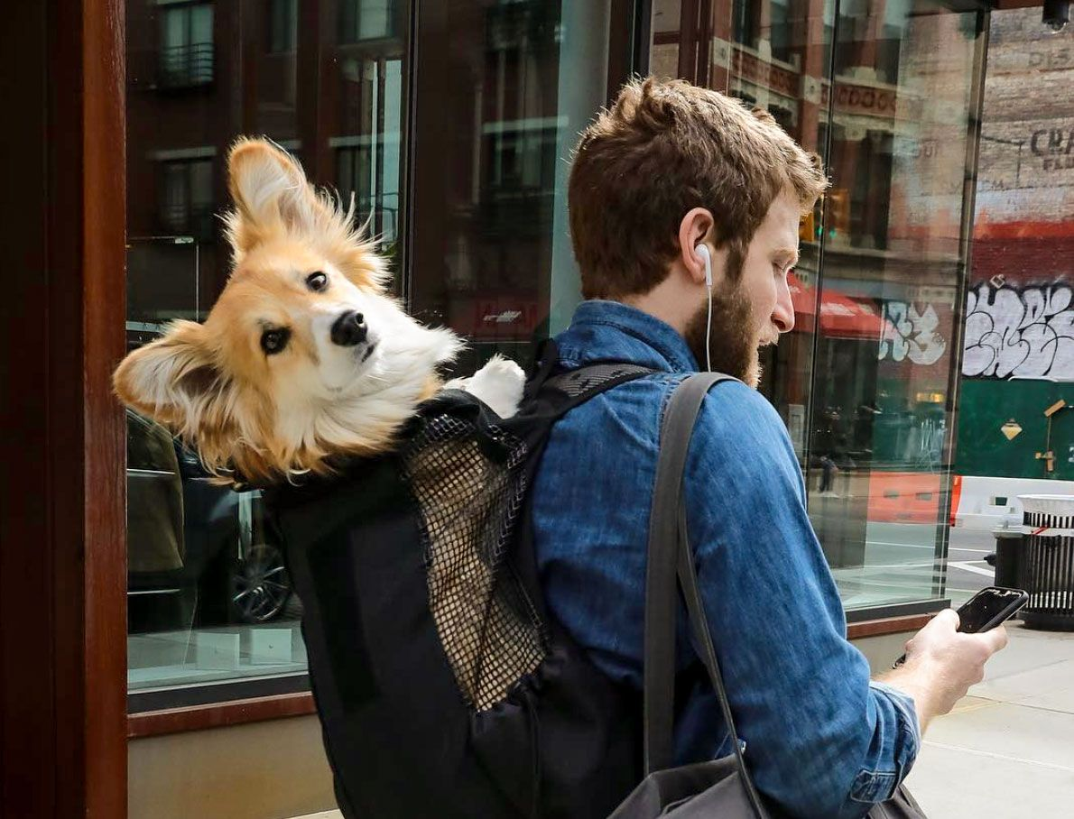 This man riding the NYC subway with his dog in a backpack is melting  commuters' hearts | Fluffy corgi, Corgi, Dog backpack