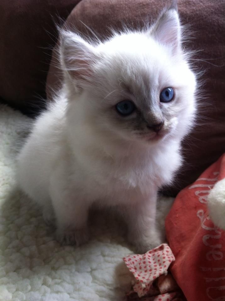 Milo The 7 Week Old Blue Lynx Pointed Ragdoll Kitten 3 Cute Animals Ragdoll Kitten Fur Babies