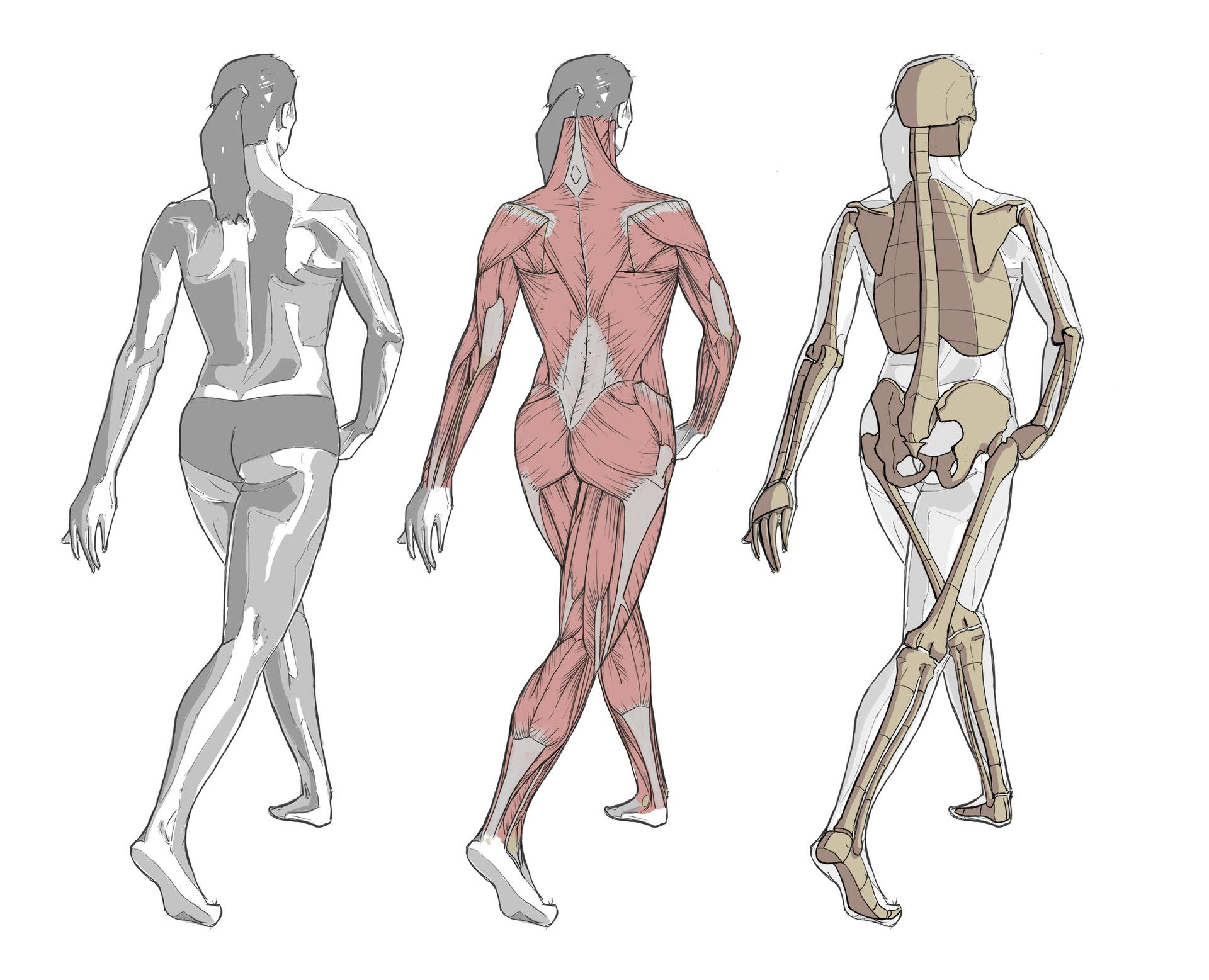 Some anatomy studies with reference taken from \