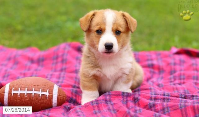 Welsh (Pembroke) Puppy for Sale in Pennsylvania