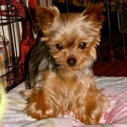 Adopt Archie On Yorkie Yorkie Dogs Yorkshire Terrier Dog