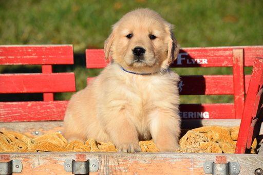 Golden Retriever Puppy For Sale In Fredericksburg Oh Adn 53529 On Puppyfinder Com Gender Male Age 7 Weeks Old Puppies Puppies For Sale Dogs