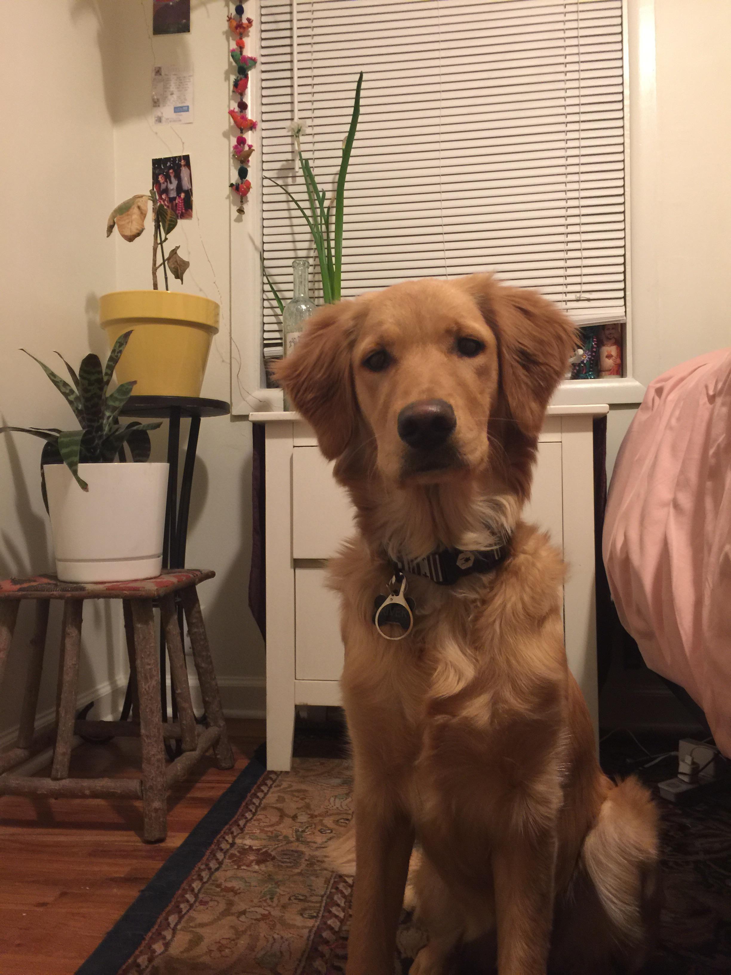 Finn The Golden Retriever At The Beach Best Dog Breeds Dogs