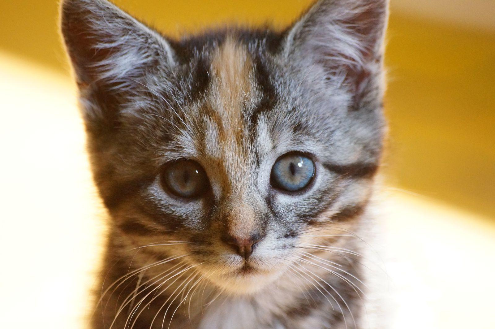 Pluks kittens Cute animals, Fancy cats, Raising kittens