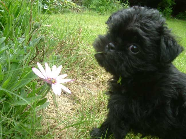 Affenpinscher puppy eating flower