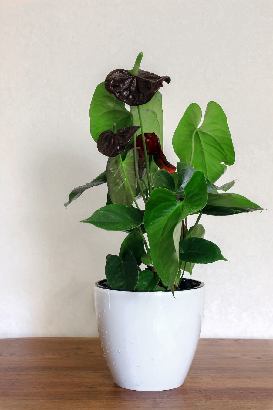 How To Care For Anthurium The Easy Way Flamingo Flower Smart Garden Guide Flamingo Flower Plant Care Houseplant Anthurium