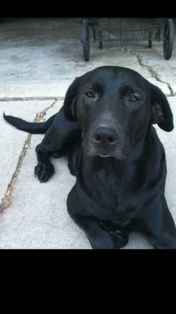 Lost Black Labrador Retriever Reward 500 Whittier Mesagrove