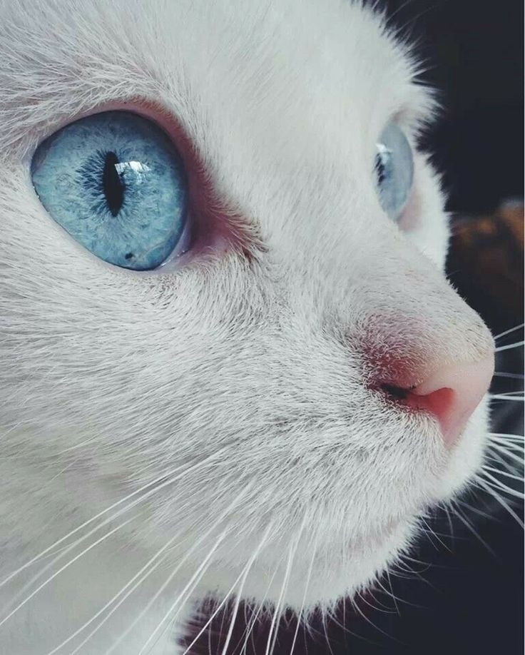 CatEyes There is a breed of white/blue eye cats that