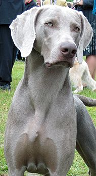 Weimaraner  born to run. bread to hunt big game like bears.   called the dog with the human brain. keen sense of smell.   feed them two small meals a day, prone to bloat which is when the stomach blocks the intestines when overfed. make good family pets. must train young.