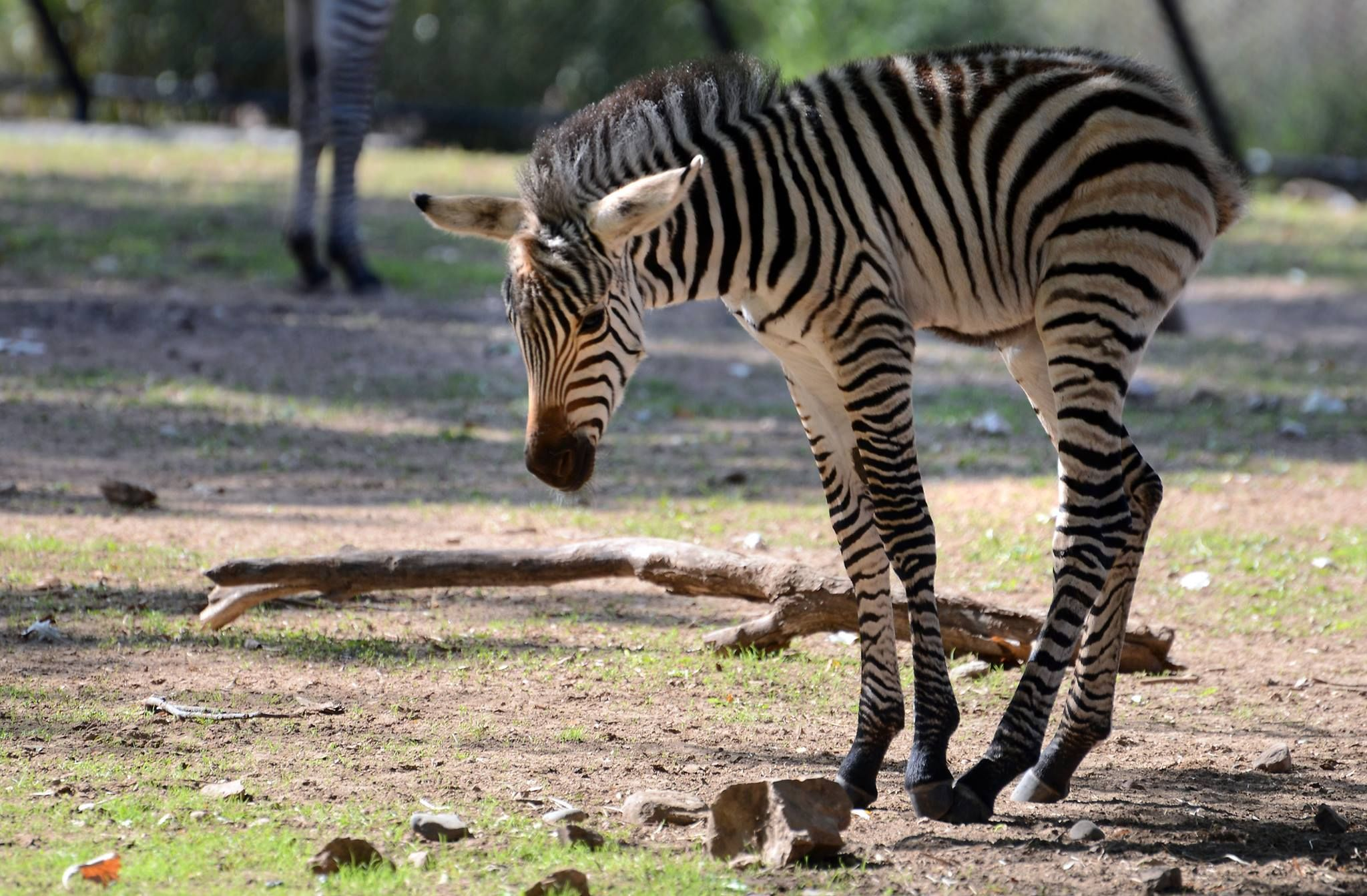 The Como Zoo's newest resident a baby zebra born over the