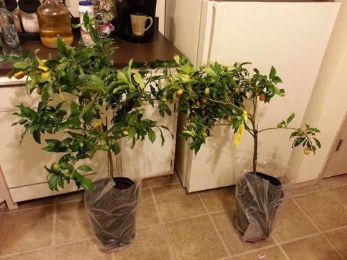 Amazon.com: 2-3 Year Old Nagami Kumquat Tree in Grower's Pot, 3 Year Warranty: Patio, Lawn & Garden