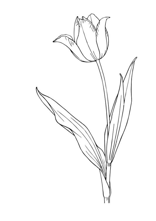 Coloring Page Tulip Painting Practice Drawings Sketches Blumen