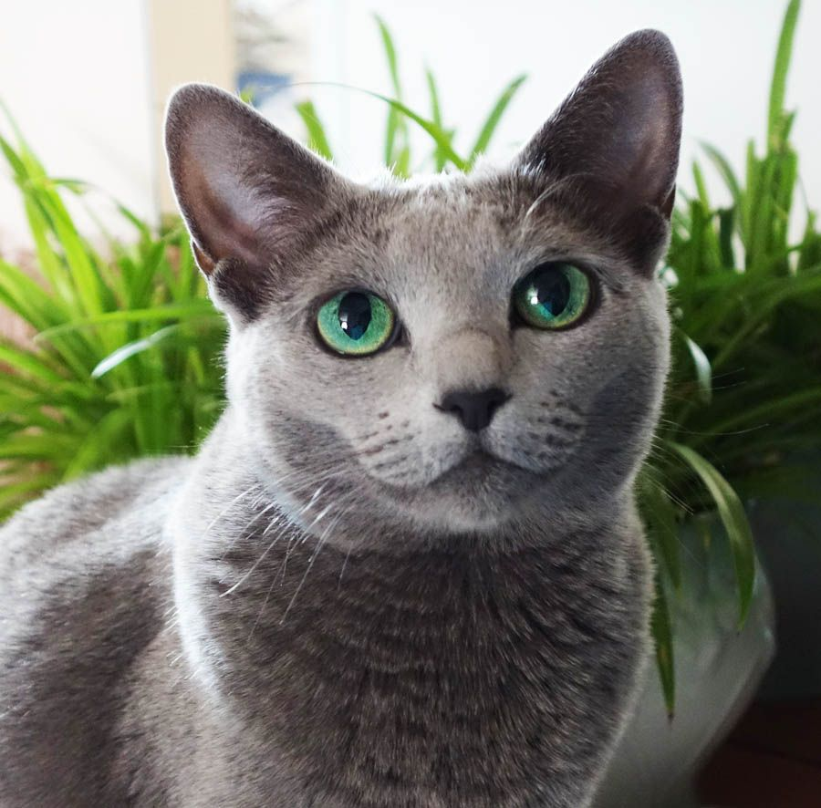 Look At This Cat With Stunningly Green Eyes Please Russian Blue