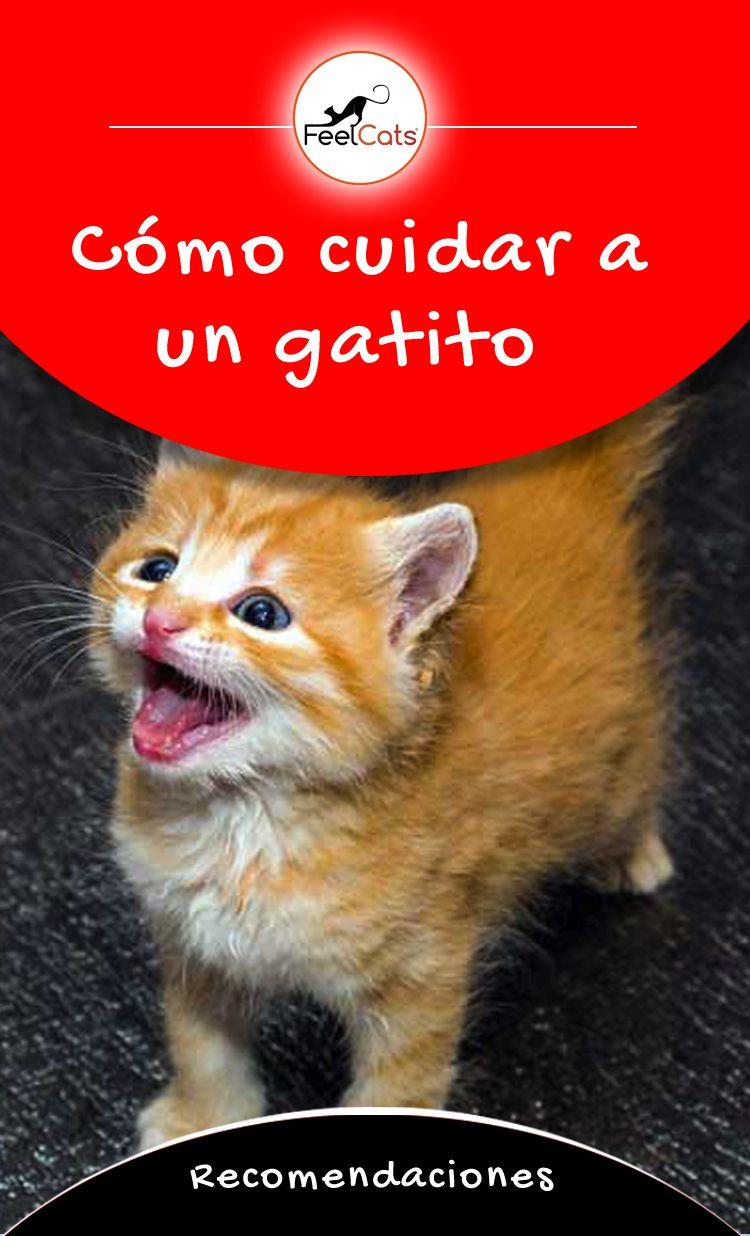 Gatitos Qué Saber Antes De Tener Un Gatito Feelcats Gatos Bebes Cuidados Gatos Gatos Bonitos