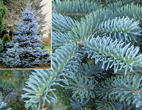Picea Pungens Edith Conifer Google Search