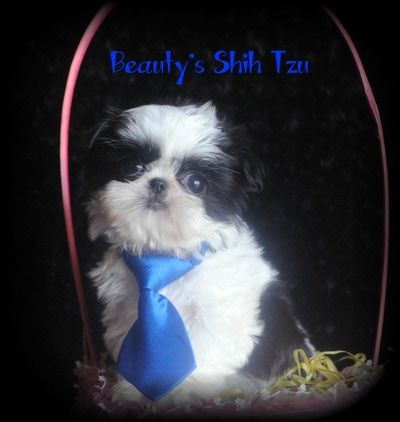 California Shih Tzu breeder of tiny and small standard