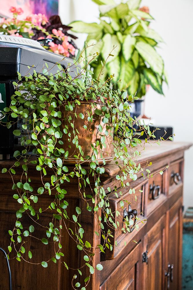 "Picture of Live Angel Vine aka Muehlenbeckia Creeping Wire Plant Fit 4"" Pot"