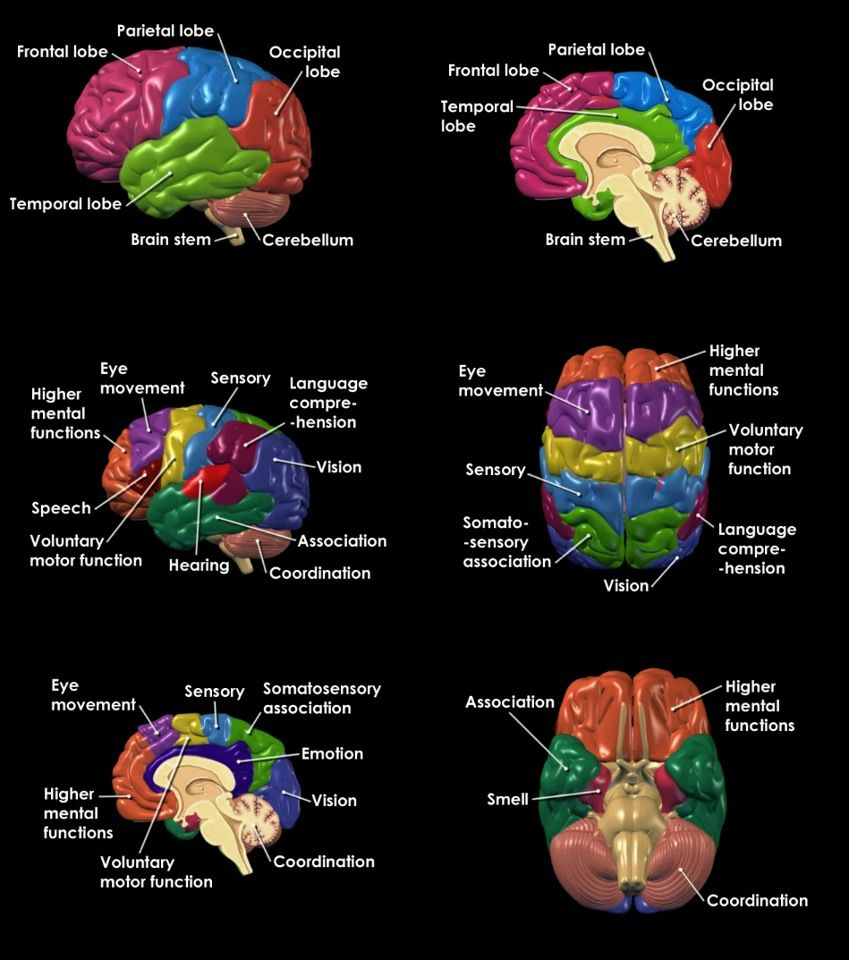 Parts of the brain. | Brain Triad: 5, 6, & 7 | Pinterest | Brain ...