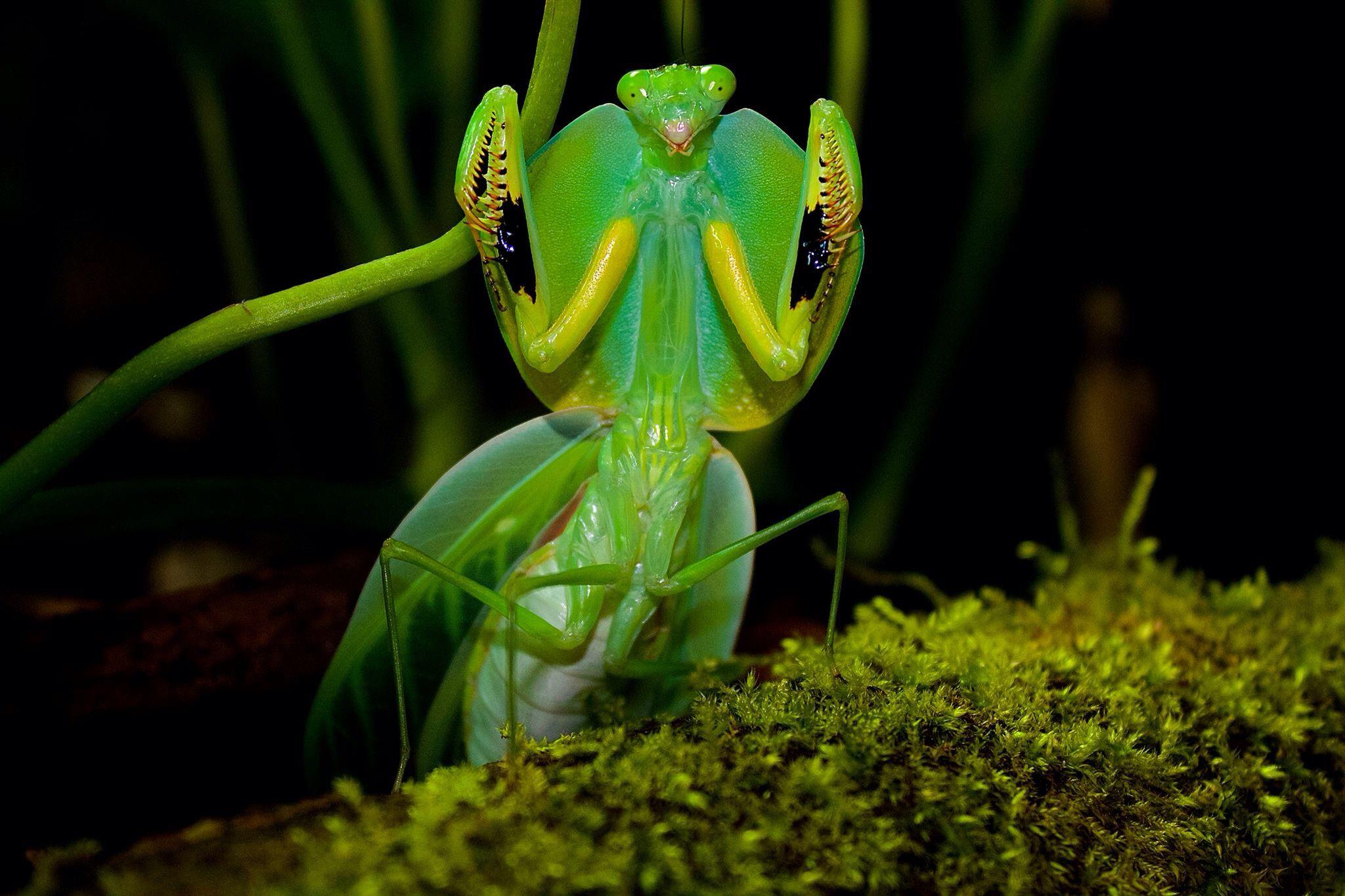 Peruvian Shield Mantis
