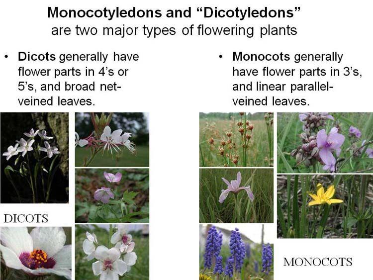Monocots Dicots Planting Flowers Parts Of A Flower Plant Classification