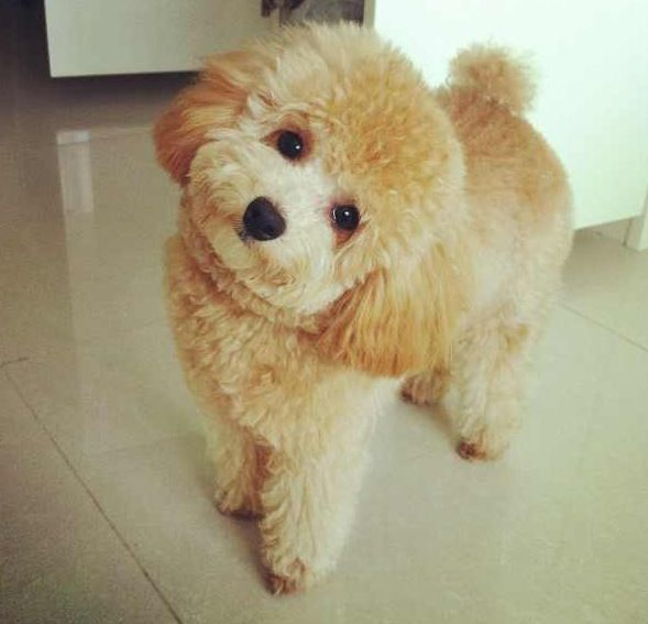 So Adorable Poodle Puppy Toy Poodle Haircut Cute Dogs