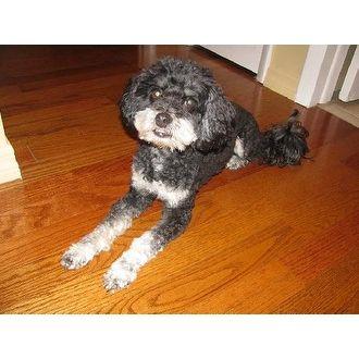 Cockapoo Sophie Pets Overstock Com Palm Harbor Fl Cockapoo Pets Dog Adoption