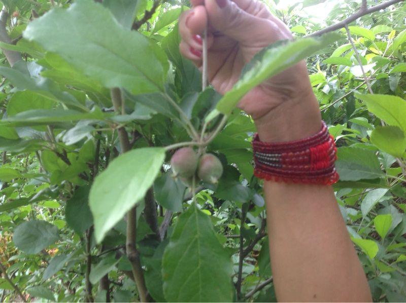 Apple tree malus characteristics of an apple tree