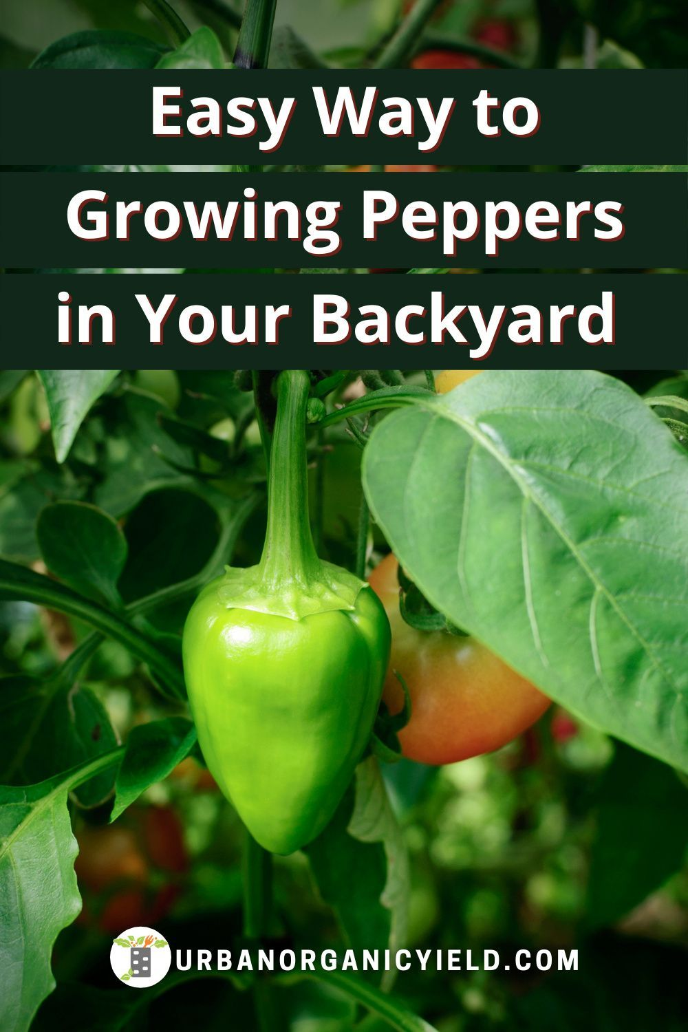 Best way to grow peppers in your backyard in 2020