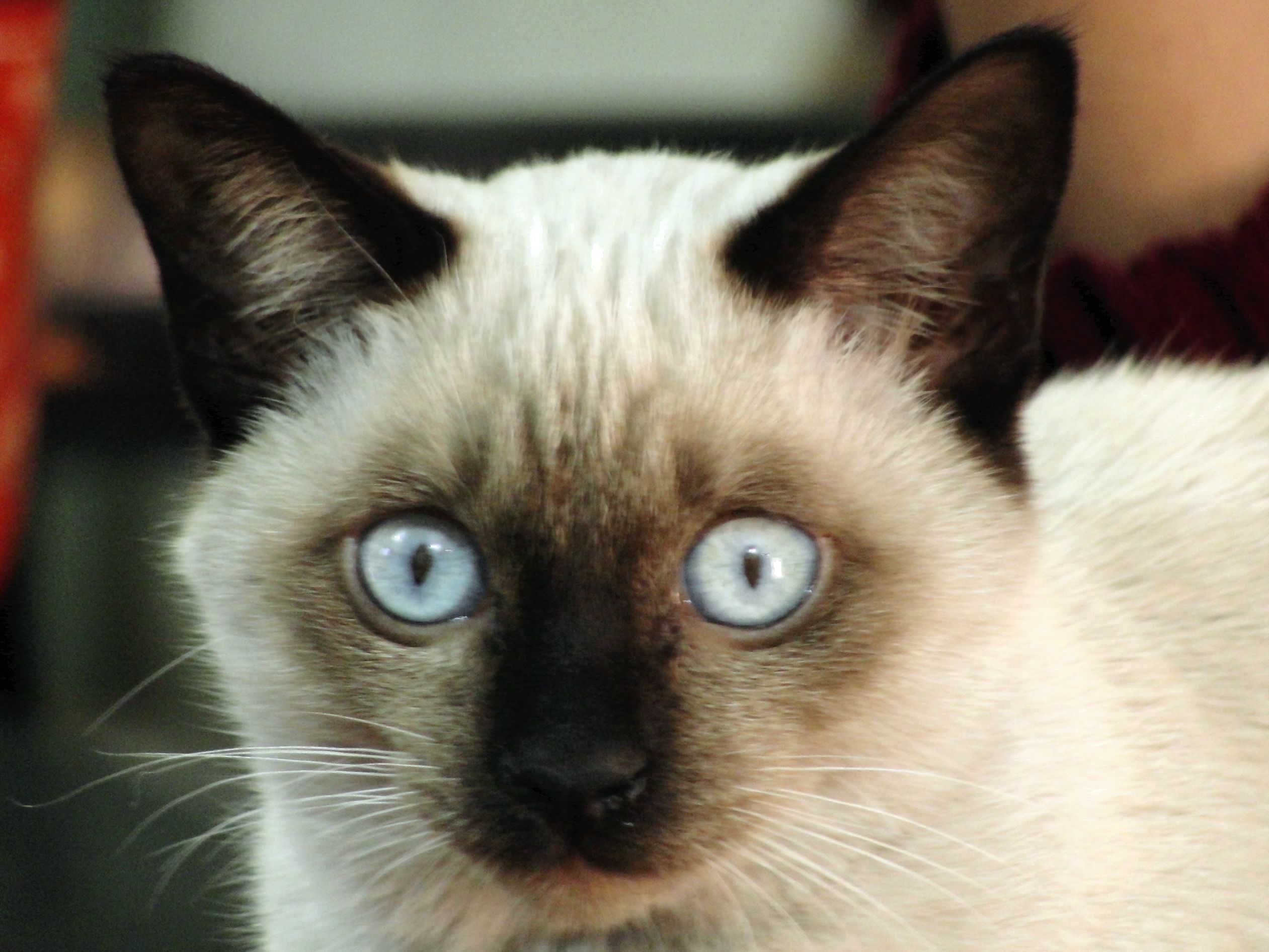 Siamese 고양이
