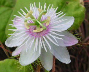 White Passion Flower