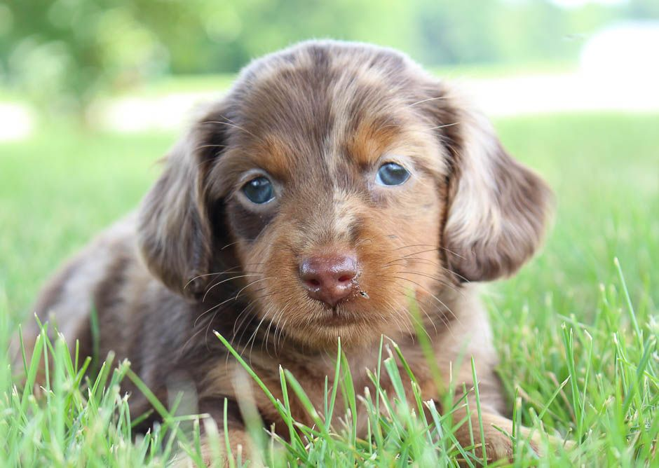 Harold Miniature Dachshund For Sale In Shipshewana Indiana