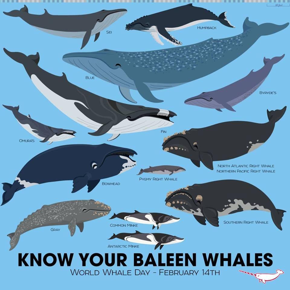 Mysticeti, or baleen whales