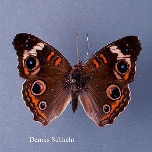 Junonia coenia (Dennis Schlicht)
