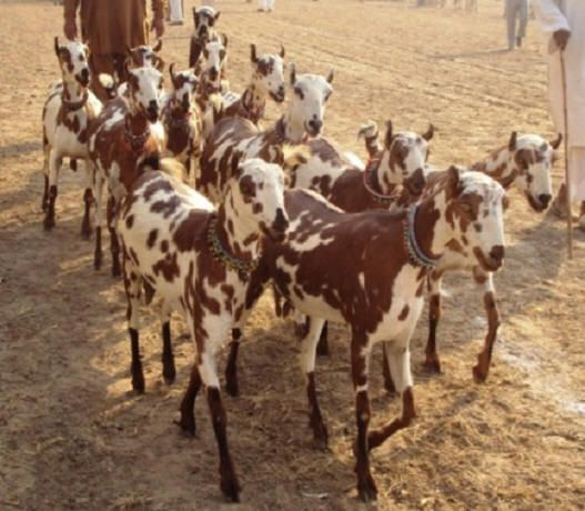 Barbari goats, India | Goats | Sheep pig, Raising goats