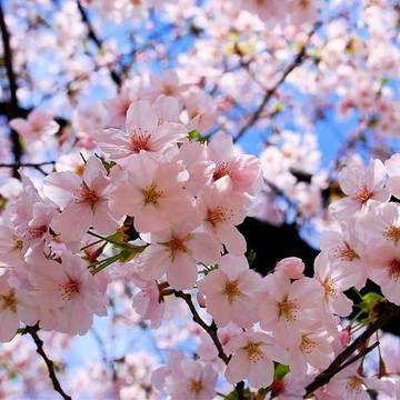 Cherry Blossoms Flor De Cerezo Flores Naturaleza