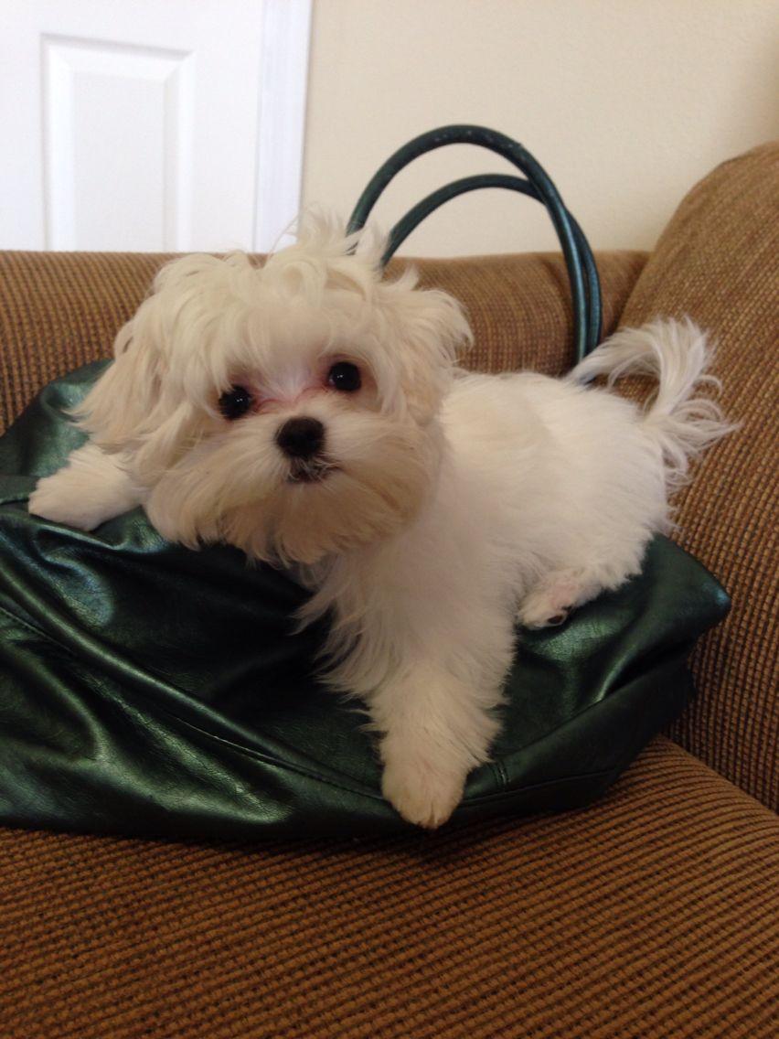 Nina my beauty dog Teacup puppies maltese, Maltese puppy