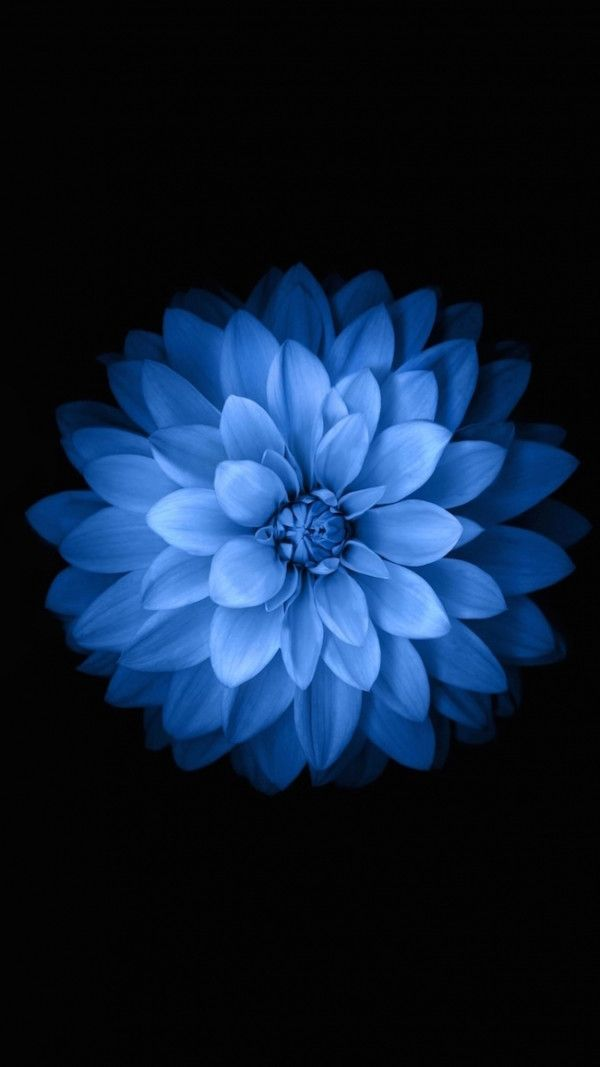 Image For Iphone 6s Blue Flower Hd Wallpaper 19re Flower Iphone