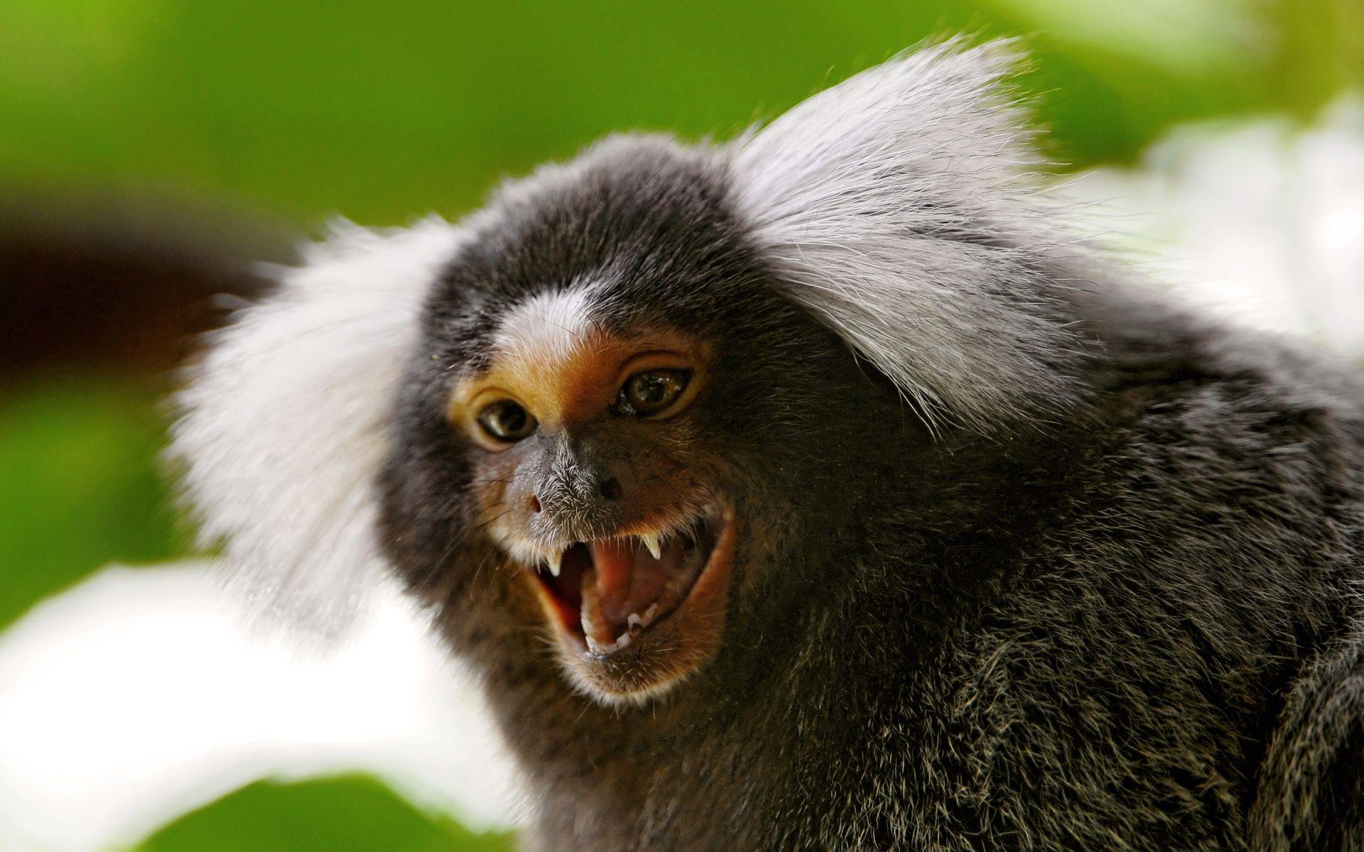 Marmosets With Attitude | Marmoset monkey, Monkey wallpaper, Monkey pictures