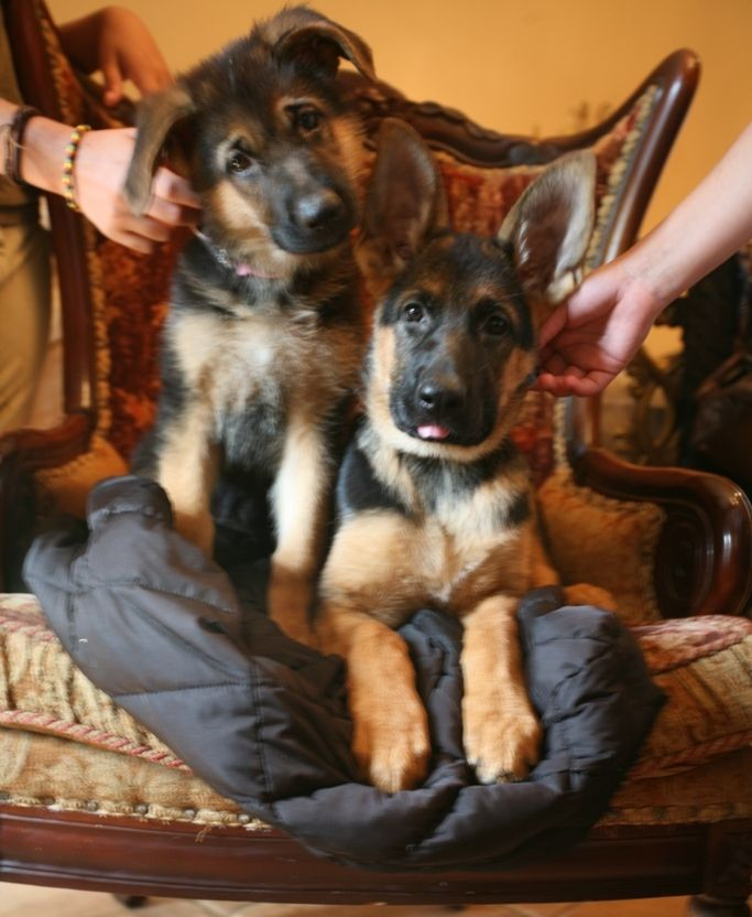 Shiraz Farm German Shepherds Upperville Va 20184 German