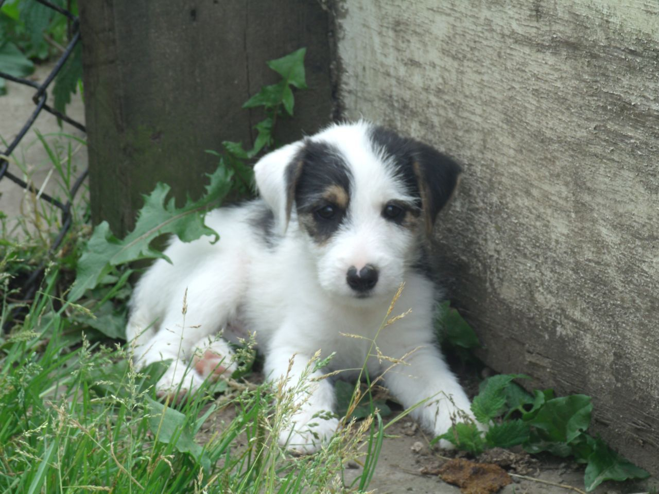 Russell Terrier Puppies Russell Jack Russell Terrier Puppies For