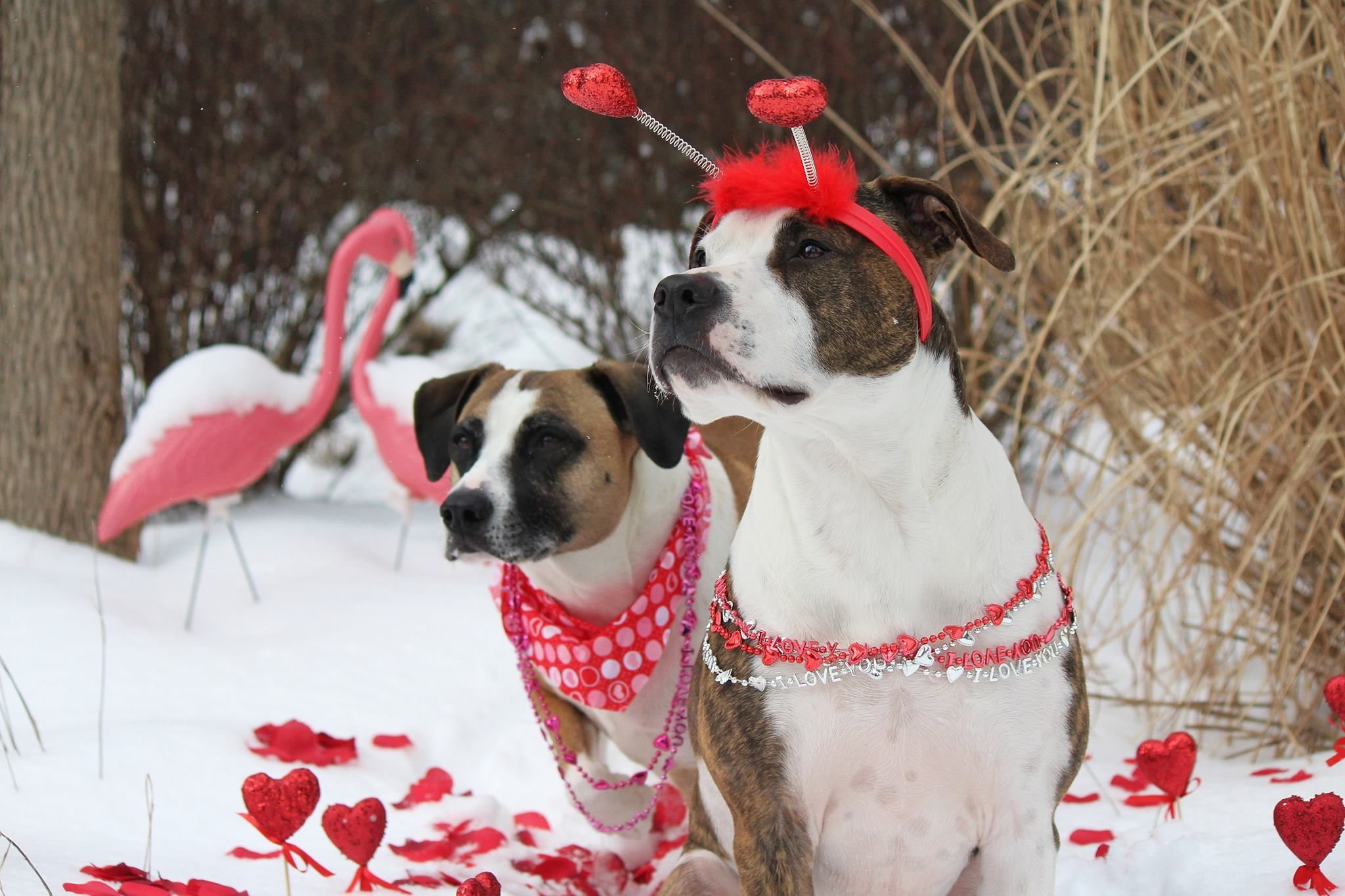 Darcy the Boxer mix and her Valentine furriend are big